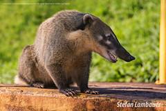 Quati (Stefan Lambauer) Tags: fozdoigua quati rioiguau paran stefanlambauer brasil brazil 2016 nature parque parquenacionaldefozdoiguau br