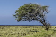 Windward, South Kau, Big Island, Hawai'i (thatoverallsguy) Tags: hawaii kau south point windswept wind swept ocean pacific