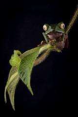 Phyllomedusa vaillanti (sebastiandido) Tags: frog rana nature naturaleza nikon d810 105mm flash softbox amazon amazonas leticia tanimboca herpetologia herpetology green phyllomedusa vaillanti macro portrait conservacion conservation