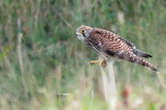 Kestrel Aug 3 (Tyrone Williams) Tags: kenfig kenfignaturereserve kenfignnr nature wildlife floraandfauna august countryfile canon cxanonsx60hs canonsx60hs flora fauna plants sx60hs