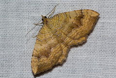 Camptogramma bilineata (zimbart) Tags: arthropoda belgium fauna heterocera lepidoptera malderen marselaer moths insects hexapoda insecta geometridae larentiinae camptogramma camptogrammabilineata