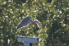 Naturally Punk (tusenord) Tags: fåglar fotosondag strömmen häger heron fs160911 natur nature ardeacinerea urbannature