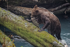 Grizzly with catch (fascinationwildlife) Tags: animal mammal grizzly bear br predator wild wildlife nature natur bute inlet bc kanada canada rain wet soaked brown braunbr log fall autumn salmon run