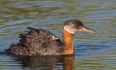 Hitching a ride (mandokid1) Tags: canon canon500f4 idmk1v waterfowl grebes