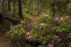 Flowers Along the Path (gwendolyn.allsop) Tags: flowers bushes rhododendron pink blooms trail path spring