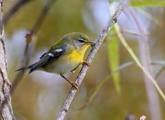 Northern Parula (snooker2009) Tags: bird nature wildlife northern parula pennsylvania migration fall spring small
