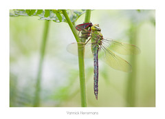 Anax empereur femelle / Female Emperor Dragonfly (Yannick Herremans) Tags: libellule dragonfly odonate odonata anax empereur imperator emperor insecte insect nature animal macro france bretagne brittany canon sigma