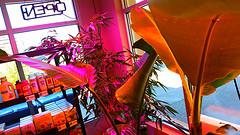 tacoma tropical plants (juliegunderson) Tags: tropicalplantsintacoma tacomatropicalplants plantsintacoma greenthumbindoorgarden thegreenavengers supersoil hydro hydroponics growtent indoorgardening compost soilgardenpotting soilfoxfarm dominionorganics botnaicare bubblebags oldschoolgrowers outdoorplants tropicalplants bananapalmtrees exoticplants greenhouses502sales tacoma502sales tacoma tacomaindoorgardening tacomawaindoorgardening tacomaindoorgardenandlighting indoorgardentacoma tacomaindoorgardensupply indoorgardenlamp indoorgardenstore