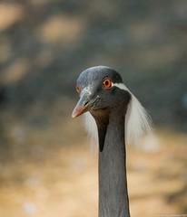 Grue demoiselle, Anthropoides virgo, portrait... (jymandu) Tags: oiseaux grue échassier