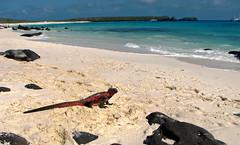 marine iguana enjoying beach view at gardner bay - espaola island, galpagos (Russell Scott Images) Tags: colourful marineiguanaamblyrhynchuscristatussspvenustissimus beach espaolaisland islaespaola hoodisland galpagos equator gardinerbay sand