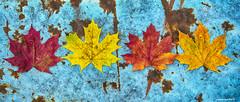 Colors of maple (p.hakala.p) Tags: maple mapleleafs autumncolors colors blueandyellow blueyellowred