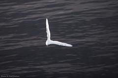 Ivory gull, u-turn (Elvar H) Tags: arcticocean harpseal helmerhansen pagophilaeburnea phocagroenlandica siarctic grønlandssel ismåke seal sealsampling sel vöðuselur ísmáfur