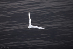 Ivory gull, u-turn (Elvar H) Tags: arcticocean harpseal helmerhansen pagophilaeburnea phocagroenlandica siarctic grnlandssel ismke seal sealsampling sel vuselur smfur