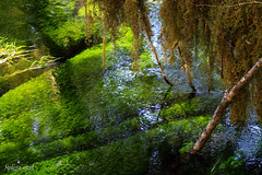 Green Stream (San Francisco Gal) Tags: shadow plant reflection nature landscape moss hoh rainforest stream lichen olympicnationalpark vigilantphotographersunite vpu2 vpu3 vpu4 vpu5 vpu6 vpu7 vpu8 vpu9 vpu10