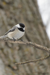 Chickadee_41399.jpg (Mully410 * Images) Tags: bird birds animals zoo birding chickadee captive birdwatching blackcappedchickadee birder minnesotazoo burdr