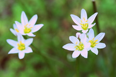 tiny flowers (mandainherjammies) Tags: flowers mylawn
