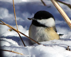 Chickadee in the snow (~Bella189) Tags: snow bird grandmother seed chickadee bigmomma coaticook gamewinner challengeyouwinner 15challengeswinner challengegamewinner friendlychallenges beautifulworldchallenges thechallengefactory fotocompetition fotocompetitionbronze yourockwinner agcgwinner gamex2winner herowinner birdperfect storybookwinner pentaxk5 storybookttwwinner ispywinner favescontestsweep