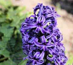 Hyazinthe (Stefan_68) Tags: plant flower macro nature blossom natur pflanze blume makro blte hyacinth makrofotografie