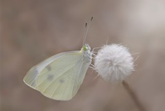 Cavolaia minore: Pieris Rapae (Ignazio Corda) Tags: butterfly liberty farfalla pierisrapae smallcopper justnature theunforgettablepictures beautifulmonsters igcor photobyigcor