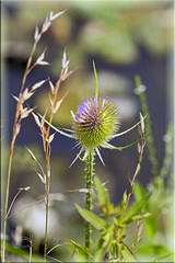 ~ Armona ~ Best In Light Box... (Aquamarine Images) Tags: thistle naturescene canonphotos macronature summerphotos wildvegetation macrothistle photographyforrecreation aquamarineimages theinspirationgroup