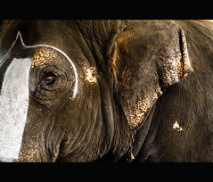 Eye~Elephant (sureshs!) Tags: elephant temple kaveri ranga templetower cauvery ranganathaswamy divyadesam templefestival 108divyadesam srirangamisfamous