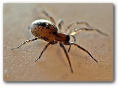 House Spider (Jo-We Got Rain-Yippee!!!) Tags: housespider blackandbrown nikkor105mmlens nikond5100 firstbugoftheseason