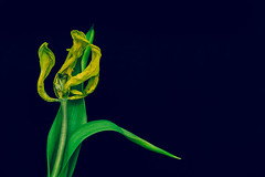 Burn (Daniel*1977) Tags: life plant flower macro green nature yellow photography still europe image daniel creative picture samsung poland wither tulip bloom warsaw fade 60mm 1977 photograhy nx kulinski nx20 samsungnx samsungimaging danielkulinski samsungnx20 samsung60mm
