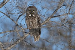 Great Gray Owl, Strix nebulosa (Tworedheads01) Tags: bird nature wisconsin canon wildlife explore raptor owl greatgrayowl birdwatching rarity strixnebulosa mauston juneaucounty ebird hennysanimals