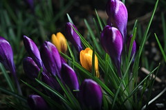 The body guards (Eyesplash - There is a change in the air.) Tags: light flower macro grass crocus croci bodyguards