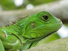 Iguana Close-Up (CatwomanofV (AKA The Blind Photographer)) Tags: green canon puertorico powershot lizard iguana botanicalgardens specanimal catwomanofv