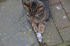 Harvie and The Mouse (aceanorak1) Tags: animal cat dead mouse rodent feline killer pest harvieandthemouse