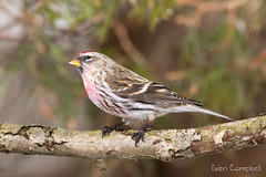 Common Redpoll (Glen Campbell) Tags: beautifulworldchallenges