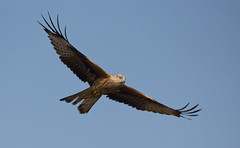 Llanddeusant Red Kite Feeding Station #17.jpg (PontyCyclops) Tags: red kite station feeding llanddeusant elementsorganizer
