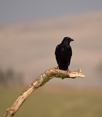Carrion Crow - Llanddeusant Ride Kite Feeding Station (PontyCyclops) Tags: red kite station feeding crow carrion llanddeusant
