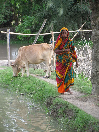 Livestock in Morrelganj, Bangladesh. Photo by Mélody Braun, 2013.