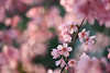 Cherry blossoms (tanakawho) Tags: pink plant flower nature cherry spring dof blossom bokeh delicate tanakawho weekendshowcase