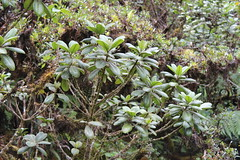 Aulani (Melicope clusiifolia) (Consciou