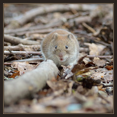 Bank Vole (Full Moon Images) Tags: nature animal mammal wildlife sandy bedfordshire reserve bank vole thelodge rspb