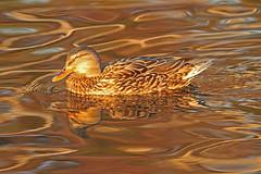 Mallard Hen (littlebiddle) Tags: nature birds canon wildlife ducks aves 7d waterfowl