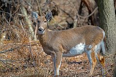 White-Tailed Deer (Brian E Kushner) Tags: philadelphia ed nikon pennsylvania wildlife brian deer pa national e heinz vr afs refuge whitetaileddeer d800 80400mm 80400 f4556 vrii f4556g nikond800 kushnernikon animalsnaturewildlife