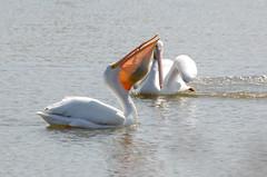 American White Pelicans (linda m bell) Tags: california white birds pelican american birdwatching irvine sanjoaquinwildlifesanctuary 2013