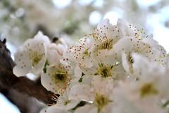 Plum flowers (Ale_Car) Tags: italy flower macro nature spring nikon plum marche plumflower nikonclubit nikond3100