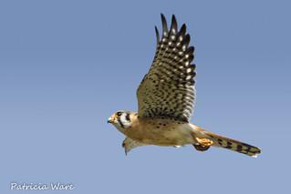 The Smallest Falcon in North America