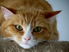 tilly (damselfly58) Tags: cat ginger furry kitten feline chat gatos tortoiseshell gatti