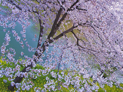 IT WILL BE OVER... (ajpscs) Tags: japan japanese tokyo spring nikon  cherryblossom  sakura nippon  kawagoe hanami  haru  d300   fullbloom shingawa seasonchange springblossom aprilblossom  ajpscs  awesomeblossoms mygearandme mygearandmeprem