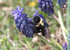 Bee on Grape Hyacinth (DrPhotoMoto) Tags: northcarolina wildflowers richmondcounty muscarineglectum