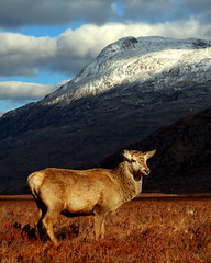 Red deer at Torridon (Gavin Macrae) Tags: nature mammal scotland spring highlands nikon stag wildlife deer reddeer torridon cervuselaphus scottishwildlife scottishmountains 2013 highlandsofscotland
