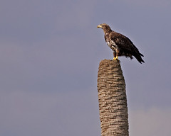 Immature Bald Eagle (Snookpics) Tags: nature birds immaturebaldeagle bladeagle vierawetlands elementsorganizer