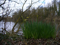 At long last - signs of spring (Maggie @ Abingdon) Tags: flowers spring daffodils radleylakes thrupplake earthtrust