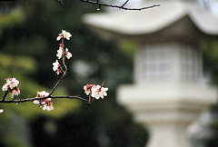 Cherry Blossoms in the Rain at Hiroshima, Japan (` Toshio ') Tags: park flower reflection tree nature beautiful rain japan garden landscape asian japanese pagoda boat asia bokeh path peaceful hiroshima zen cherryblossoms raft raining tranquil toshio cityofpeace shukkeiengarden